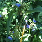 Four o'clocks , spiderwort