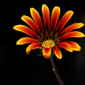 by Mario J - Flowers Single Flower ( low key, daisy, light,  )