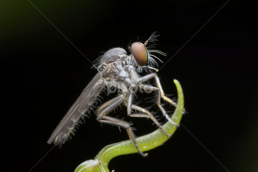 Asilidae Robber fly by Chin KC - Animals Insects & Spiders ( plant, detail, fauna, furry, diptera, leaf, beauty, insect, close, asilidae, hairy, predator, macro, life, nature, dark, grey, closeup, black, animal, eye, orange, rubber, park, green, beautiful, abdomen, prey, living, leg, environment, fly, assassin, outdoor, background, hunting, bug, branch, brown, eat, natural, garden, robber, entomology,  )