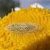 Pupa Diamondback moth. Polilla de las coles