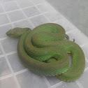 Alapangyan (Pit viper)