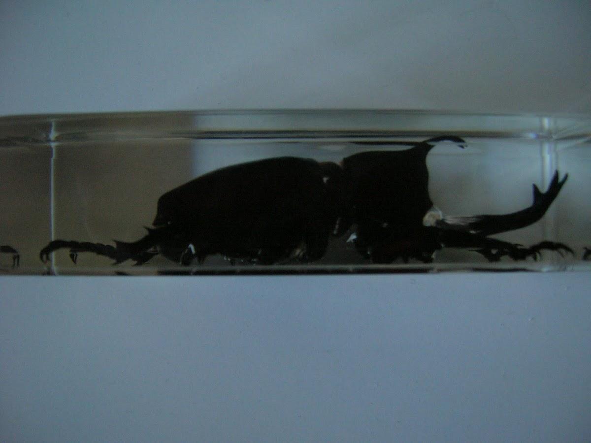 Rhinoceros Beetle (preserved)