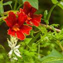 Channel Islands Scarlet Monkeyflower
