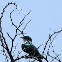 Diderick Cuckoo