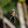 long-jawed orb weavers or long jawed spiders
