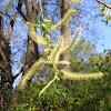 Mimbrera frágil, Crack Willow