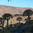Quiver tree / kokerboom