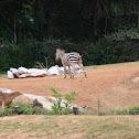 Zebra at Atlanta Zoo