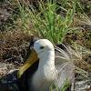 Waved or Galapagos Albatross