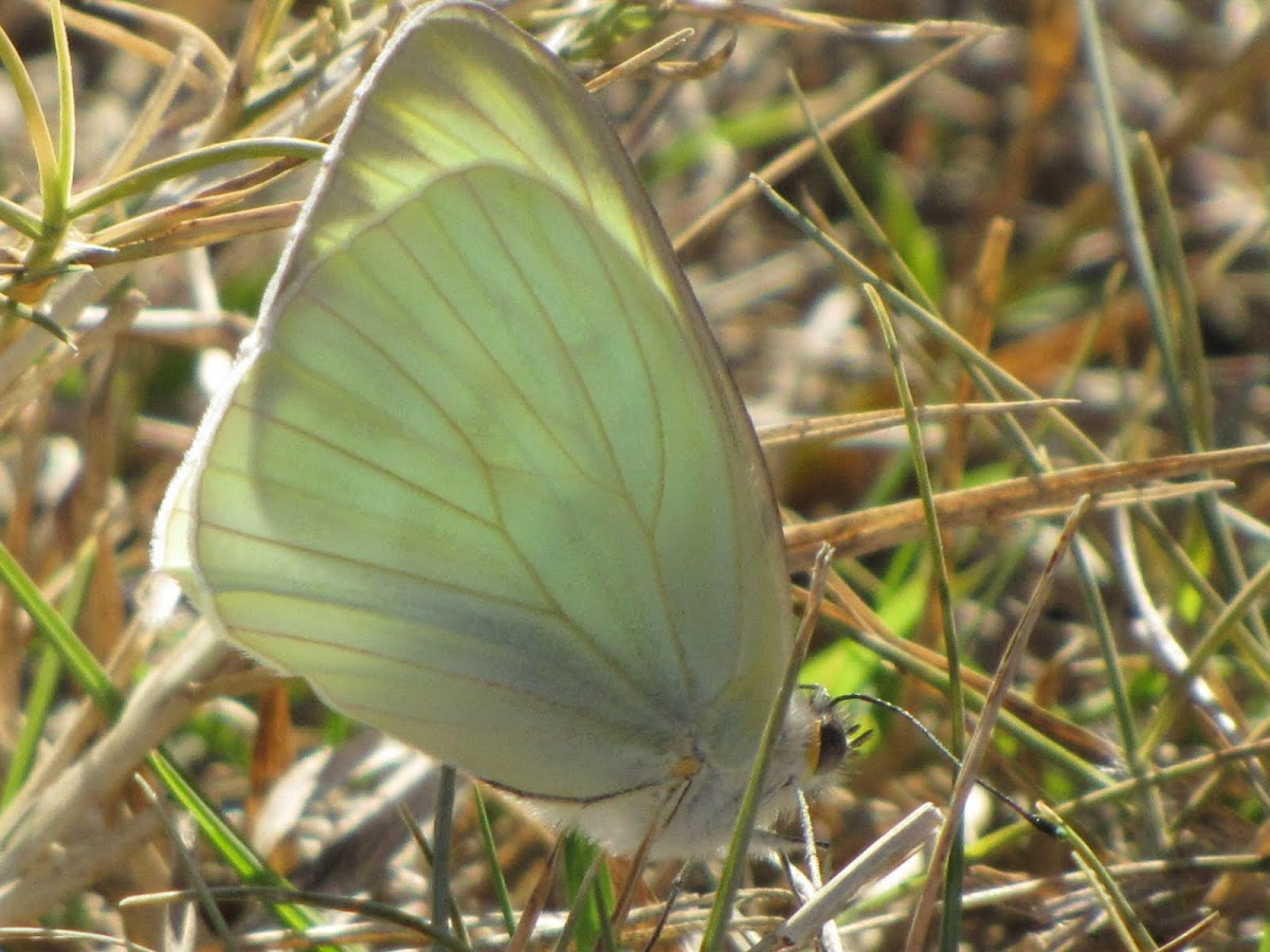Great Souihern White Butterfly