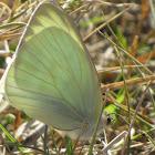 Great Souihern White Butterfly