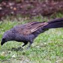 Lousy Jack or Apostle Bird