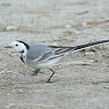 White wag-tail