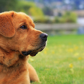 Stop and watch by Debbie Sodeman-Roelle - Animals - Dogs Portraits ( canine, washington, wenatchee, park, grass, dog )