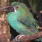 chestnut-tipped toucanet