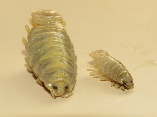 Isopod Facts, Tongue-eating Louse