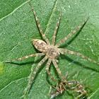 Fishing spider & prey