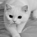 Adorable White Cat Live Wallpa icon