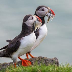 A mouthful by Giancarlo Bisone - Animals Birds ( bird, iceland, fish, summer, puffin )