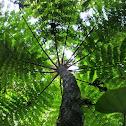 Tree- fern