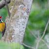 Golden-backed Three-toed Woodpecker