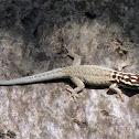 White-headed dwarf gecko
