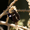 Common Eggfly (male)