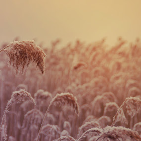 Reeds by Kajsa Karlsson - Nature Up Close Leaves & Grasses ( sweden, winter, ice, snow, pink, yellow, reeds, sun, the mood factory, mood, lighting, sassy, colored, colorful, scenic, artificial, lights, scents, senses, hot pink, confident, fun, mood factory ,  )
