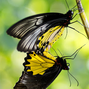 Stick with you by Stevie Go - Animals Insects & Spiders ( butterfly, macro, yellow, birds )