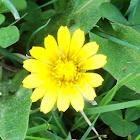 Carolina Dwarf Dandelion (Wildflower)
