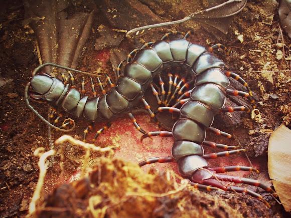 Giant Centipede | Project Noah