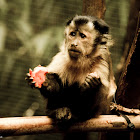 Black-capped Capuchin or Tufted Capuchin