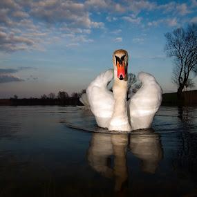 Swan VII by Zoran Rudec - Animals Birds
