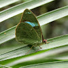 Common Olivewing or Northern Nessaea