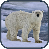Polar bear HD. Video Wallpaper