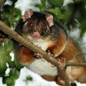 Common Ring-tail possum