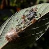 Stink Bug - Wasp parasitizing eggs