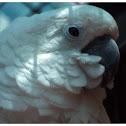 The White Cockatoo