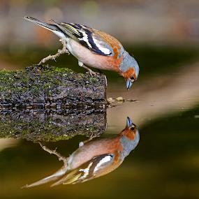 Mirror mirror on the wall... by Robert van Brug - Animals Birds ( water, bird, mirror, reflection, hide, chaffinch, fringilla coelebs, vink,  )