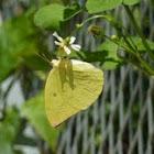 Eurema andersoni 淡黃蝶