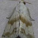 Everlasting Bud Moth