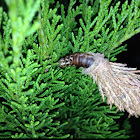 Evergreen Bagworm larvae