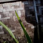 Grasshawk dragonfly