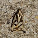 Oecophorid moth