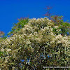 Laurel tree, laurel