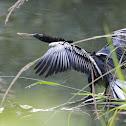 Anhinga (Snake Bird)