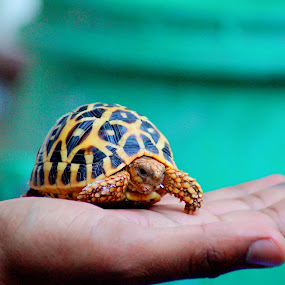 My cutest and oddest baby animal. by Faizan Hussain - Animals Sea Creatures ( #showusyourpets, tortoise, nature, pet, baby, #garyfongpets, colours )