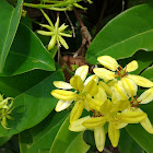 Shower of gold climber / Maiden's jealousy / Australian gold vine