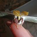 Luna Moth (male)