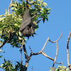 Black Flying-Fox (Fruit Bat)